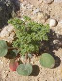 Chorizanthe corrugata