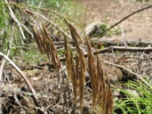 Bromus laevipes