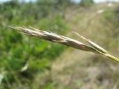 Danthonia pilosa