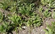 Hackelia floribunda