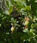 Vaccinium uliginosum ssp. occidentale