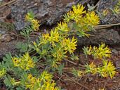 Acmispon nevadensis