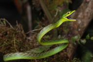 "<strong>Location:</strong> Costa Rica<br /><strong>Author:</strong> <a href=""http://calphotos.berkeley.edu/cgi/photographer_query?where-name_full=Alex+Shepack&one=T"">Alex Shepack</a>"