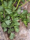 Potentilla glandulosa ssp. pseudorupestris