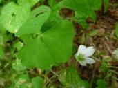 Oxalis trilliifolia