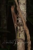 "<strong>Location:</strong> Llanchama near Iquitos (Iquitos, Loreto, Peru)<br /><strong>Author:</strong> <a href=""http://calphotos.berkeley.edu/cgi/photographer_query?where-name_full=Tobias+Eisenberg&one=T"">Tobias Eisenberg</a>"