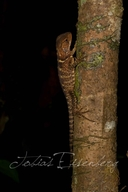 """<strong>Location:</strong> Santa Cruz, Río Mazán near Iquitos (Iquitos, Loreto, Peru)<br /><strong>Author:</strong> <a href=""""http://calphotos.berkeley.edu/cgi/photographer_query?where-name_full=Tobias+Eisenberg&one=T"""">Tobias Eisenberg</a>"""