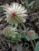 Trifolium eriocephalum