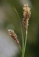 Carex spectabilis