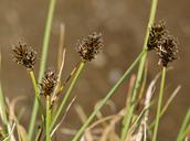 Carex illota