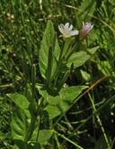 Epilobium glaberrimum