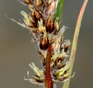 Luzula spicata