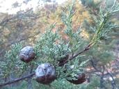 Hesperocyparis abramsiana var. butanoensis