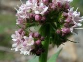 Valeriana californica