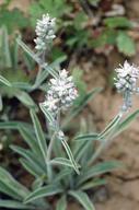 Frasera albicaulis