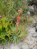 Dudleya virens ssp. virens