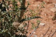Cirsium californicum