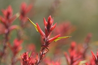 Long-leaved Paintbrush