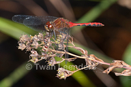 Cherry-faced Meadowhawk Dragonfly