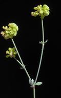 Eriogonum umbellatum var. bahiiforme