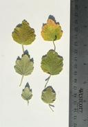 Malacothamnus abbottii