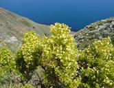 Galium catalinense ssp. acrispum