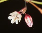 Eriogonum esmeraldense
