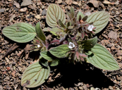 Phacelia phacelioides