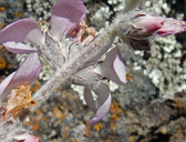 Malacothamnus clementinus