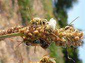 Melissodes sp.
