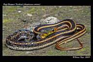 "<strong>Location:</strong> The snake was rescued from a house, Photographed, and released in the wild (India)<br /><strong>Author:</strong> <a href=""http://calphotos.berkeley.edu/cgi/photographer_query?where-name_full=Varun+Vaze&one=T"">Varun Vaze</a>"