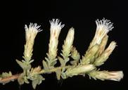 Brickellia microphylla