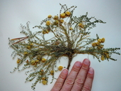 Astragalus lentiginosus var. kernensis