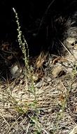 Chenopodium leptophyllum
