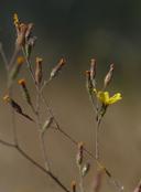 Benitoa occidentalis