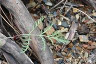 Lomatium engelmannii