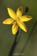 Sisyrinchium californicum