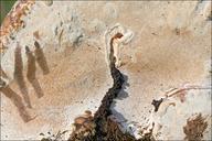 Ganoderma australe
