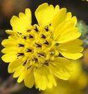 Deinandra increscens ssp. increscens