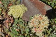 Eriogonum ursinum var. ursinum