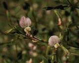 Lotus purshianus var. purshianus