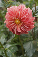 Dahlia sp.