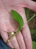 Malaxis monophyllos var. brachypoda
