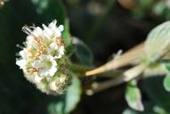 Phacelia argentea