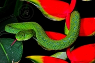 Merendon Palm-pitviper