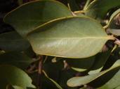 Santalum ellipticum