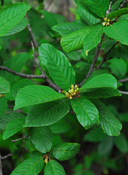 Birch-leaf Buckthorn