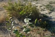 Lepidium perfoliatum