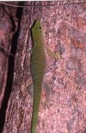 "<strong>Location:</strong> Ampijoroa (Madagascar)<br /><strong>Author:</strong> <a href=""http://calphotos.berkeley.edu/cgi/photographer_query?where-name_full=Simon+J.+Tonge&one=T"">Simon J. Tonge</a>"