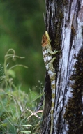 """Presumed male on colour of head<br /><strong>Location:</strong> Montagne d'Ambre NP (Madagascar)<br /><strong>Author:</strong> <a href=""""http://calphotos.berkeley.edu/cgi/photographer_query?where-name_full=Simon+J.+Tonge&one=T"""">Simon J. Tonge</a>"""